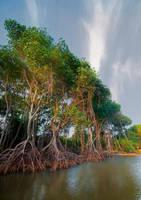 Mangrove_Morning by 1rainmaker