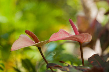 Anthuriums by 1rainmaker