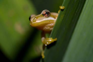Tiny Yellow Tree Frog by mozella78