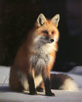 fox by BlazedFox