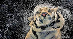 Tiger Splash (digital drawing) by eyeqandy