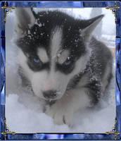 A cute baby Husky. by leepawlowicz