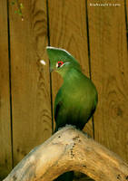Green Touraco 2 by Xiuhcoalt