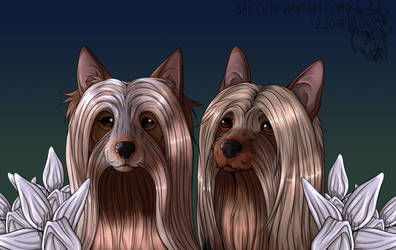 Two silky terriers by Saiccu