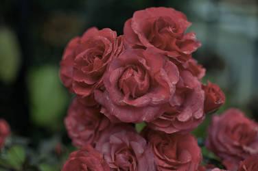 November Roses 01 by itharu