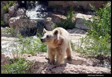 Syrian Brown Bear 13 by Demon-of-Death-665