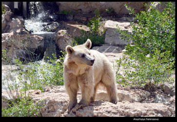 Syrian Brown Bear 14 by Demon-of-Death-665