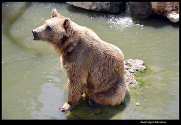 Syrian Brown Bear 19 by Demon-of-Death-665