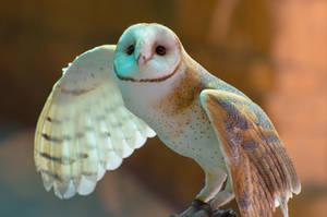 Barn Owl by McMeggieG