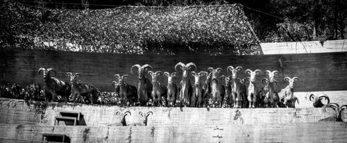 The Goats by MarkHumphreys