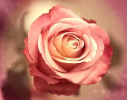 Rose for contest by GloomySisterhood