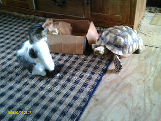 my cats and Sulcata by One-piece-Crew