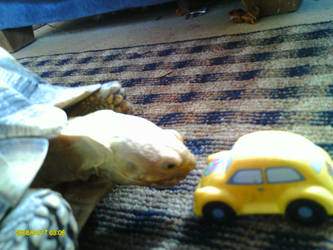Sulcata and car by One-piece-Crew