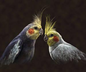 a Pair of Cockatiels by ArnaTornwolf