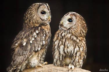 Tawny Owl pair / Waldkauz-Paar by DaSchu