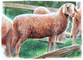 Sheeps by LauraPex