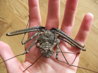 Tanzanian Whip Scorpion by dead01