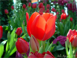 Red Tulip by jewels4665