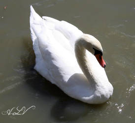 Beautiful Swan by alexislind