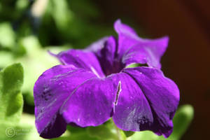 Purple Velvet by LeeAnneKortus