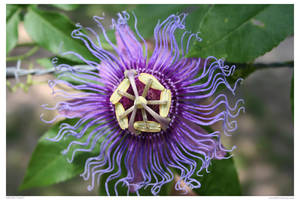 Passion Flower by LeeAnneKortus