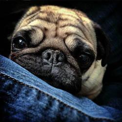 My Pug by MadRain92