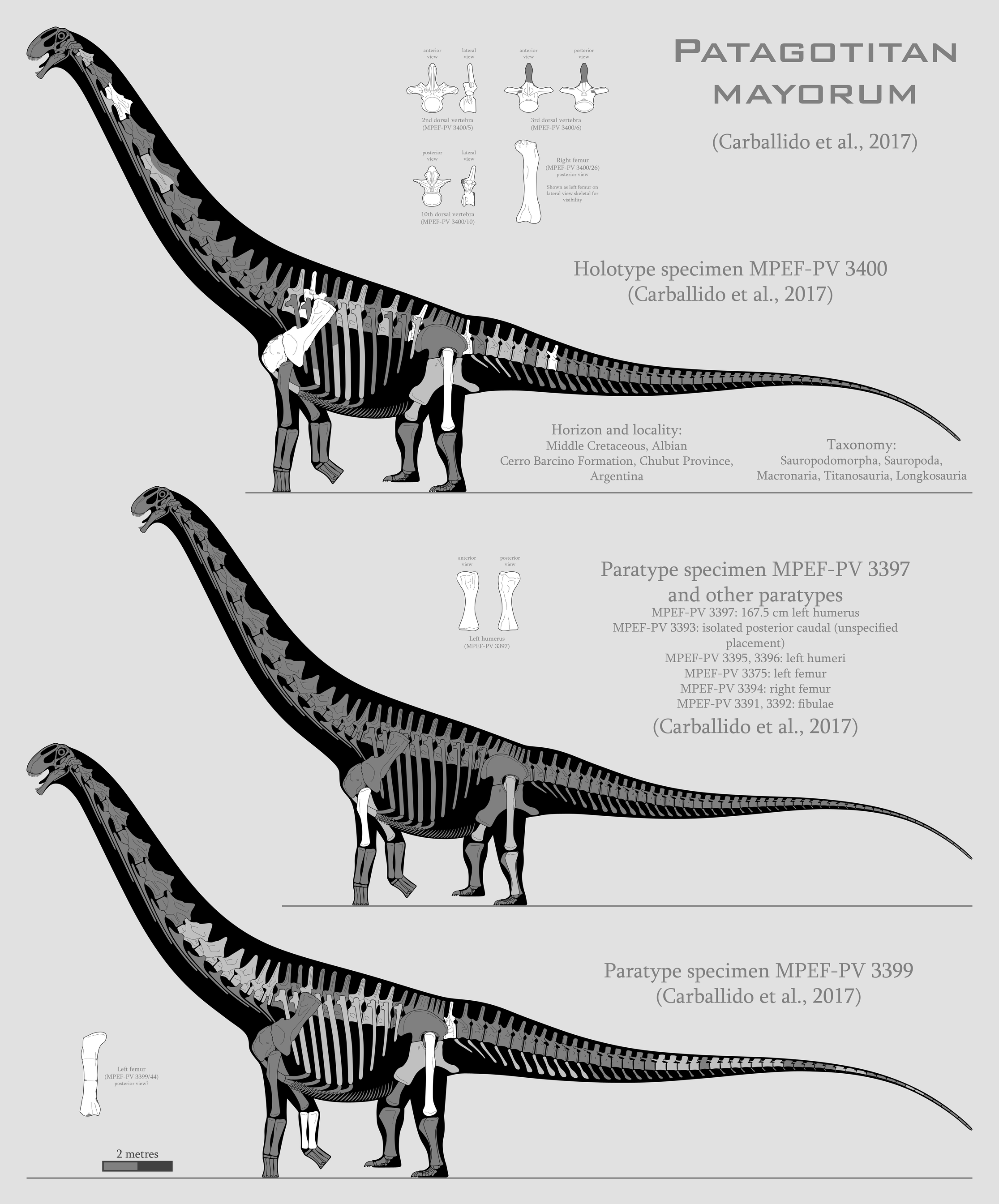 Patagotitan mayorum skeletal reconstructions by SpinoInWonderland