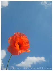 Poppy by trzezwa