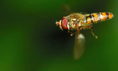 Hoverfly by Miracidium