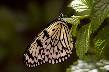 Butterfly by Benthor