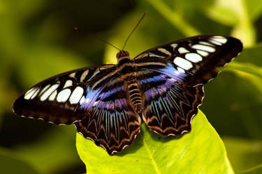 Butterfly 3 by Benthor