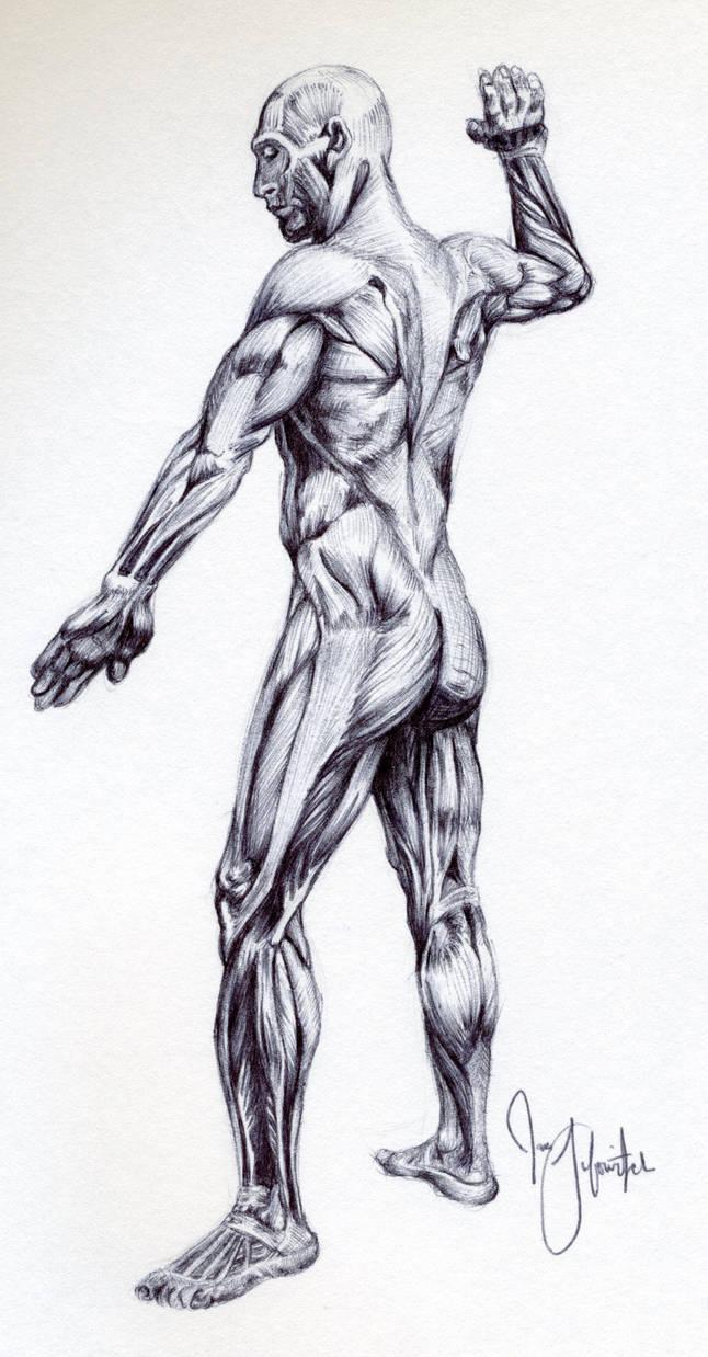 Male Muscular Anatomy Sketch By Pikajane On Deviantart