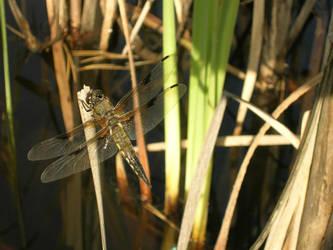 Dragonfly by kara-kaze