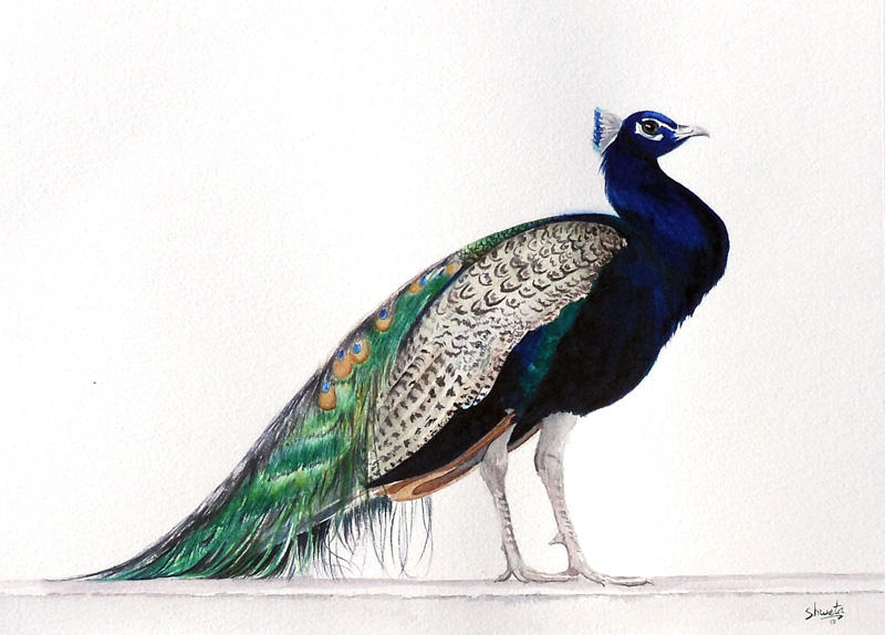 Indian blue peafowl by aakritiarts