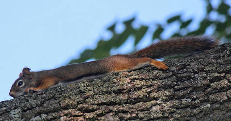 Stretched Out Squirrel by boogster11