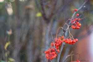 Rowan Berries by ianwh