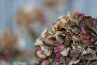 Hydrangea Just About to Die by ianwh