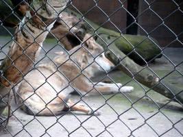 Canis Lupus by Lionblau