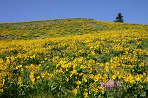 Sunflower Field by FoxStox