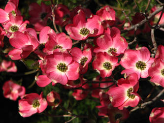 Pink Dogwood by FoxStox