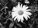 Black and white flower  by Astragami-sama