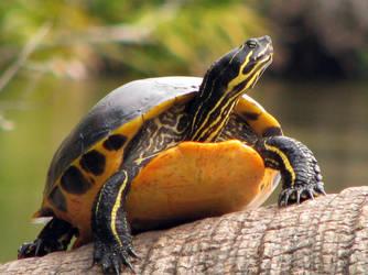 Juniper Springs Turtle by CanoeGuru