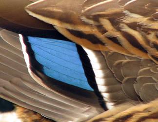 Duck Feathers by CanoeGuru