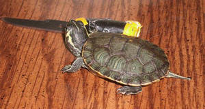 Did Y'all know that turtles are sword-masters? by Chiracy