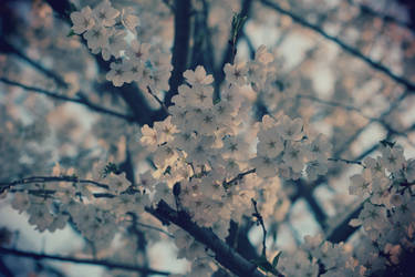 Cherry Blossoms by Tonyl24