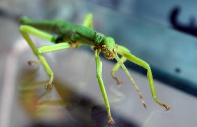 My little green Diapherodes Gigantea by ktulukru