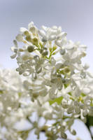 White lilac by reaktionista