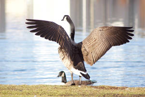 Canada goose by reaktionista