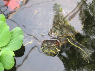 Red Eared Slider Turtle In Water 001 by death-pengwin