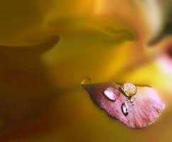 Petal by Callu